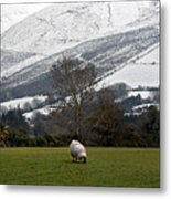 Sheep Grazing Atthe Galtees  Ireland's Tallest Inland Mountains Metal Print