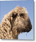 Sheep In Profile Metal Print