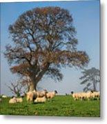 Sheep In Somerset Metal Print