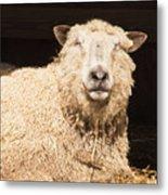 Sheep In Stable 2 Metal Print