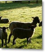 Sheep In The Sunlight Metal Print