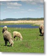 Sheep On Pasture Nature Farm Scene Metal Print
