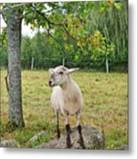 Happy Sheep Posing For Her Photo Metal Print