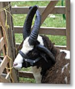 Sheep Three Metal Print