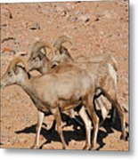 Sheep Trio Metal Print