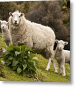 Sheep With Twin Lambs Stony Bay Metal Print by Colin Monteath