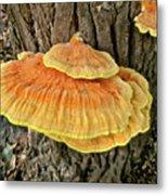 Shelf Fungus - Basidiomycota Metal Print