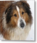 Sheltie In The Snow Metal Print