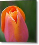 Sherbet Tulip Metal Print