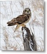 Short Eared Owl Metal Print