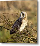 Short-eared Owl In Tree Metal Print
