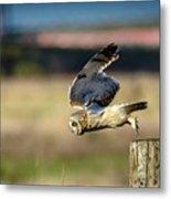 Short-eared Owl Takeoff Metal Print