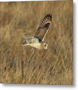 Short-eared Owl With Vole Metal Print