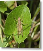 Shortwinged Green Grasshopper Metal Print