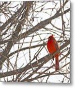 Showing His Colours - Northern Cardinal - Cardinalis Cardinalis Metal Print