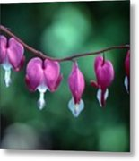Showy Bleeding Hearts  Metal Print