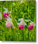 Showy Lady's Slipper Orchids Metal Print