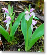 Showy Orchis Metal Print