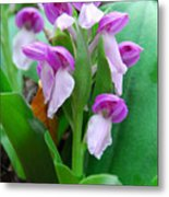 Showy Orchis Close Up Metal Print