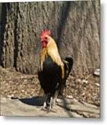 Showy Rooster Posed Metal Print