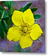 Shrubby Cinquefoil On Iron Creek Trail In Sawtooth National Wilderness Area-idaho  Metal Print
