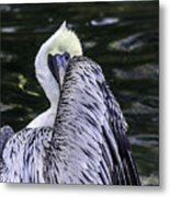 Shy Pelican Metal Print