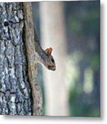 Shy Squirrel Metal Print