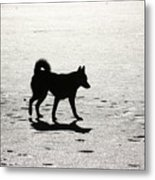 Siberian Husky 6 Metal Print by David Dunham