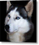 Siberian Husky Dog Metal Print by Julie L Hoddinott