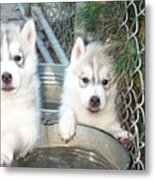 Siberian Husky Puppies Metal Print
