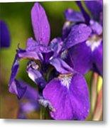 Siberian Iris After Rain Metal Print