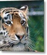 Siberian Tiger 2 Metal Print