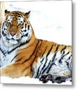 Siberian Tiger Amur Tiger Metal Print