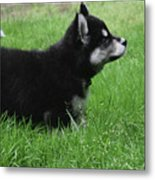 Side View Of A Two Month Old Alusky Pup Metal Print