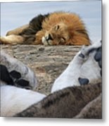 Siesta Time For Lions In Africa Metal Print