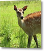 Sika Deer Omagh Metal Print