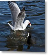 Silver Gull And Australian Coot Metal Print
