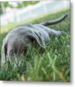 Silver Labrador Retriever  Metal Print