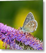 Silver-studded Blue Butterfly Metal Print