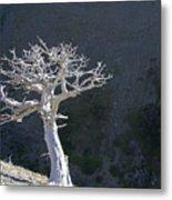 Silver Tree Glacier Park Montana Metal Print