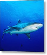 Silvertip Shark In Thailand Metal Print