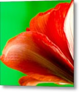 Simply Amaryllis Red Amaryllis Flower On A Green Background Metal Print