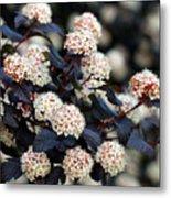 Summer Wine Ninebark Blossom Metal Print