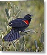 Sing Me A Song, Red-winged Blackbird Metal Print
