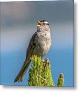 Singing Sparrow Metal Print