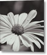 Single Daisy Bw Metal Print