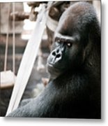 Single Gorilla Sitting Alone Metal Print