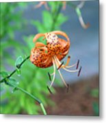 Single Orange And Black Tiger Lily Metal Print