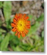 Single Orange Wild Flower Metal Print