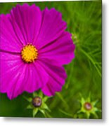 Single Purple Cosmos Flower Metal Print